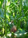 Sweet Corn for a Sweet NewYear
