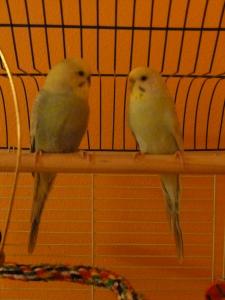 new parakeet love © Rebecca Rockefeller