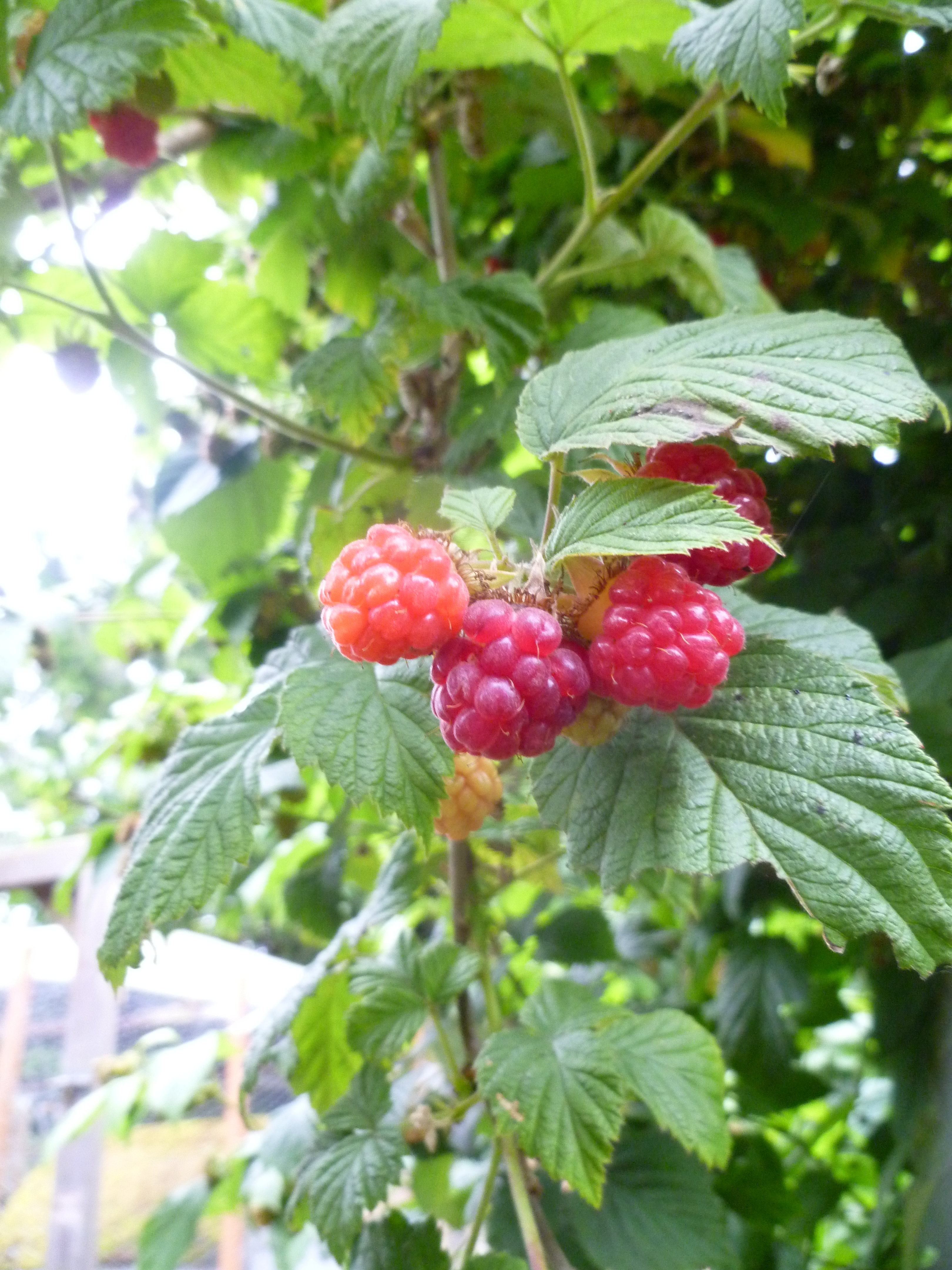 berry thoughts rock farmer