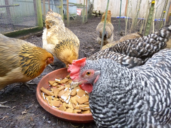 chickens like gingerbread houses © Rebecca Rockefeller