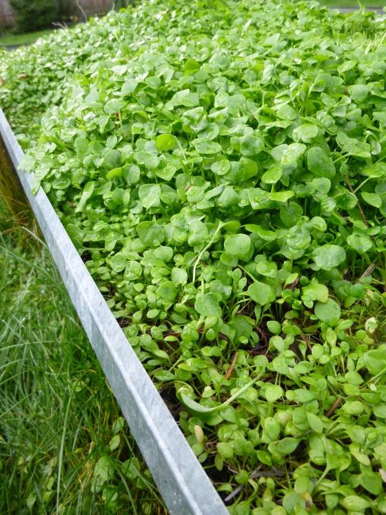 Raised Bed of Miner's Lettuce