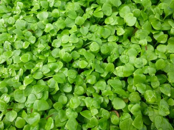 February's Harvest: Miner's Lettuce