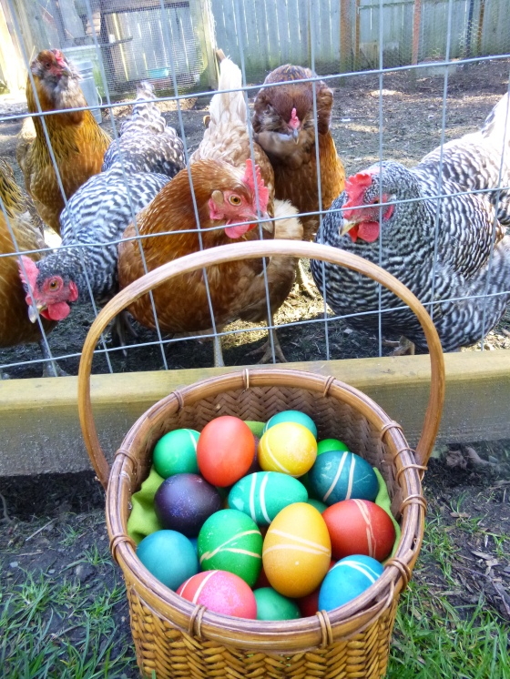Our Hens Wonder What Happened
