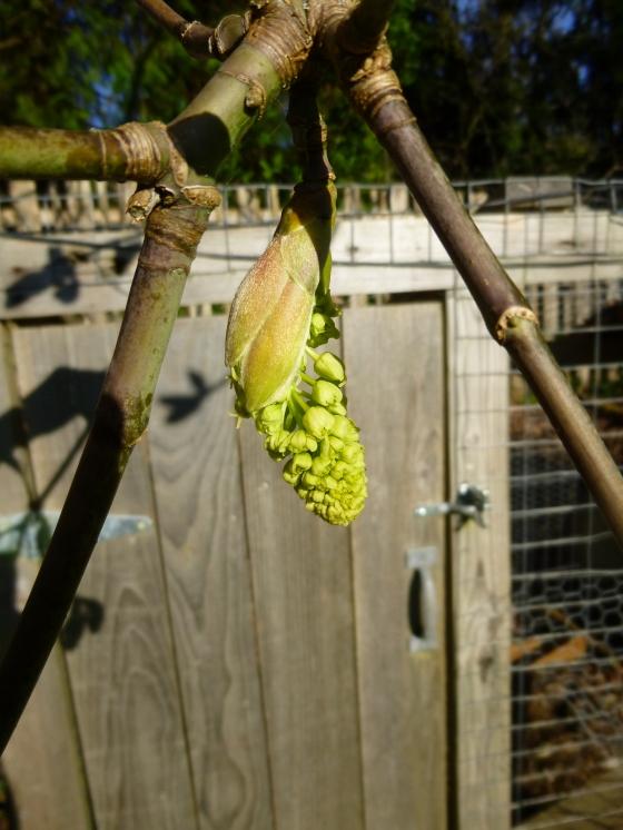 Bigleaf Maple Blossom by the Chicken Coop