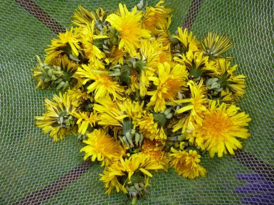 Dandelion Harvest