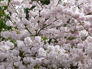 Bainbridge Island Cherry Blossoms © Rebecca Rockefeller