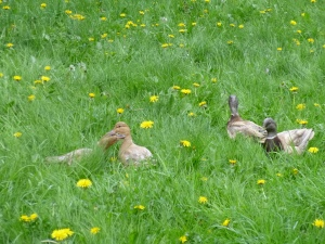 ducks in spring grass © Rebecca Rockefeller