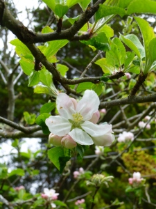 first apple blossom © Rebecca Rockefeller