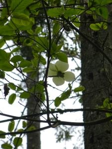 first dogwood blossom © Rebecca Rockefeller