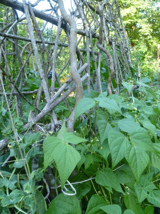 Beans on DIY Trellis of Branches