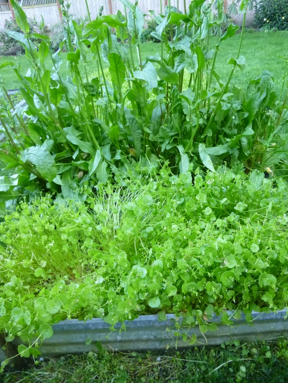 Winter Bed of French Sorrel and Miner's Lettuce