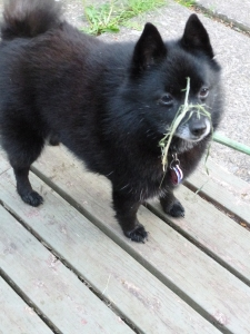May Day Schipperke photo © Rebecca Rockefeller