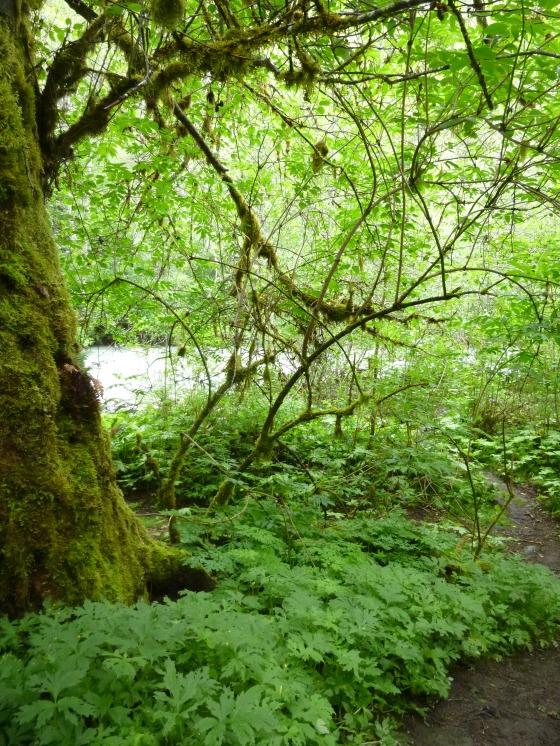 Bigleaf Maple at Dungeness Forks
