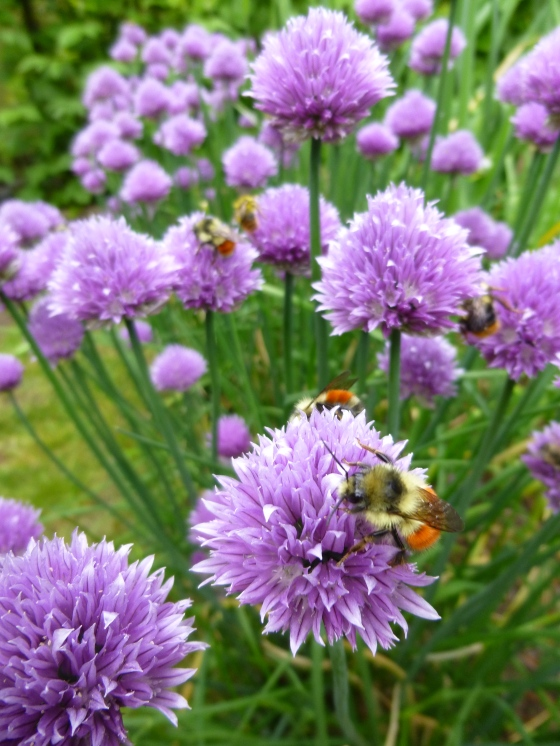 Bumblebees on Chive Flowers