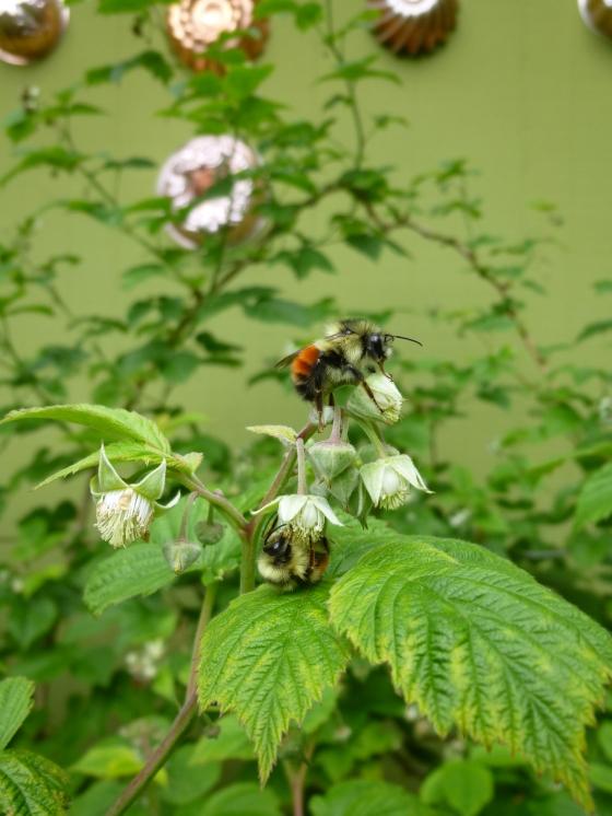 Bumblebees Buzz Pollinating Raspberries