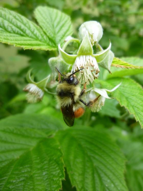 Bumblebee on Raspberry Flowers
