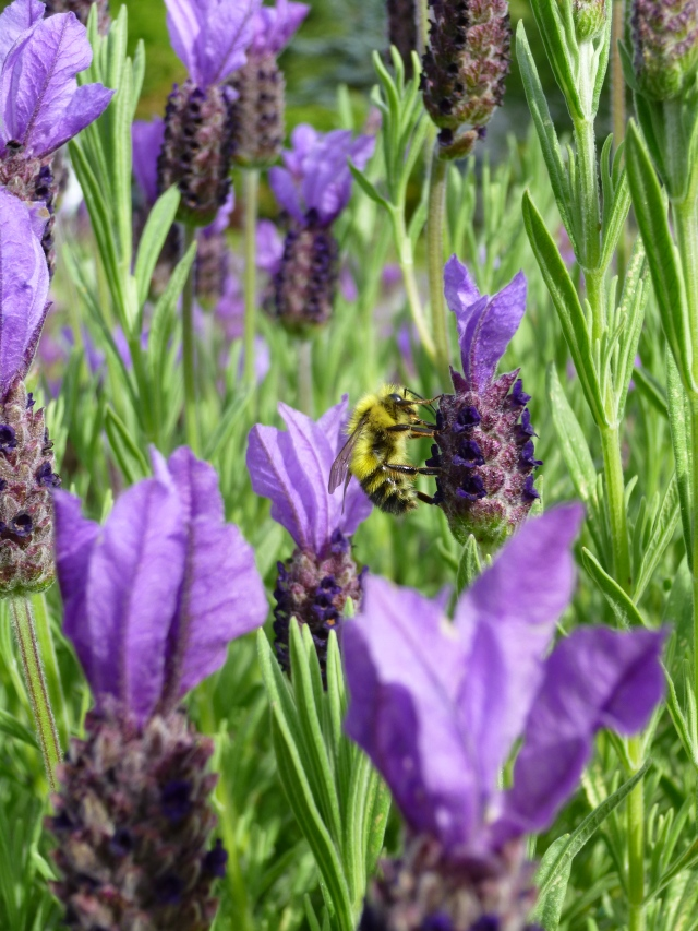 Bumblebee on Spanish Lavender